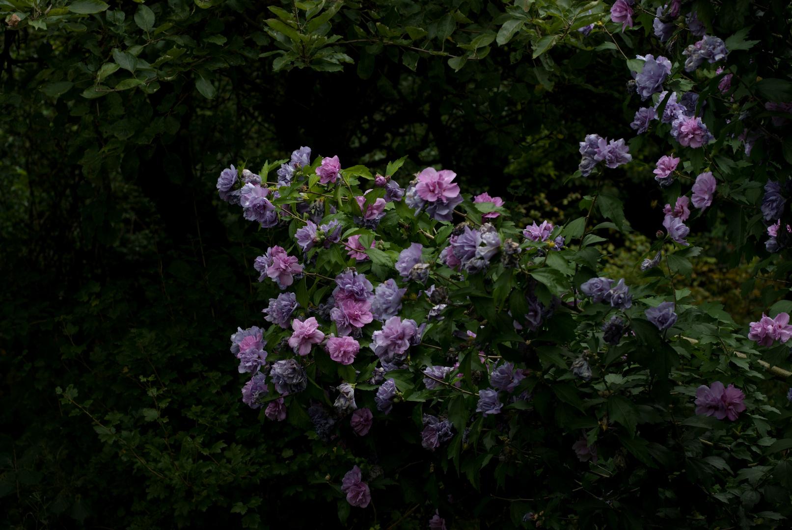 Hibiskus aus Nachbars Garten