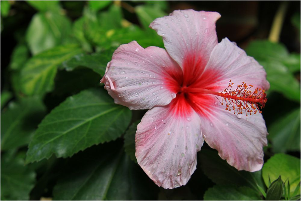 Hibiskus boryanus