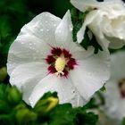 hibiskus1