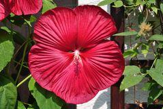 Hibiskusblüte (3)