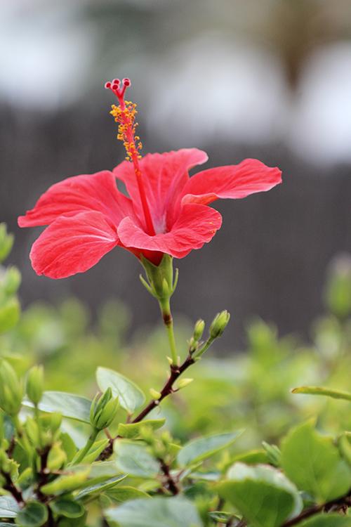 Hibiskusblüte (Hibiscus)