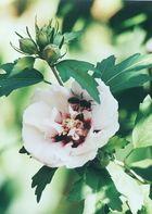 Hibiskusblüte mit Wespe