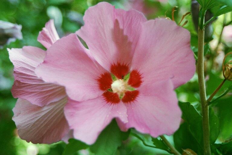 Hibiskusblüte Sommer 20002