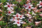 Hibiskusbusch
