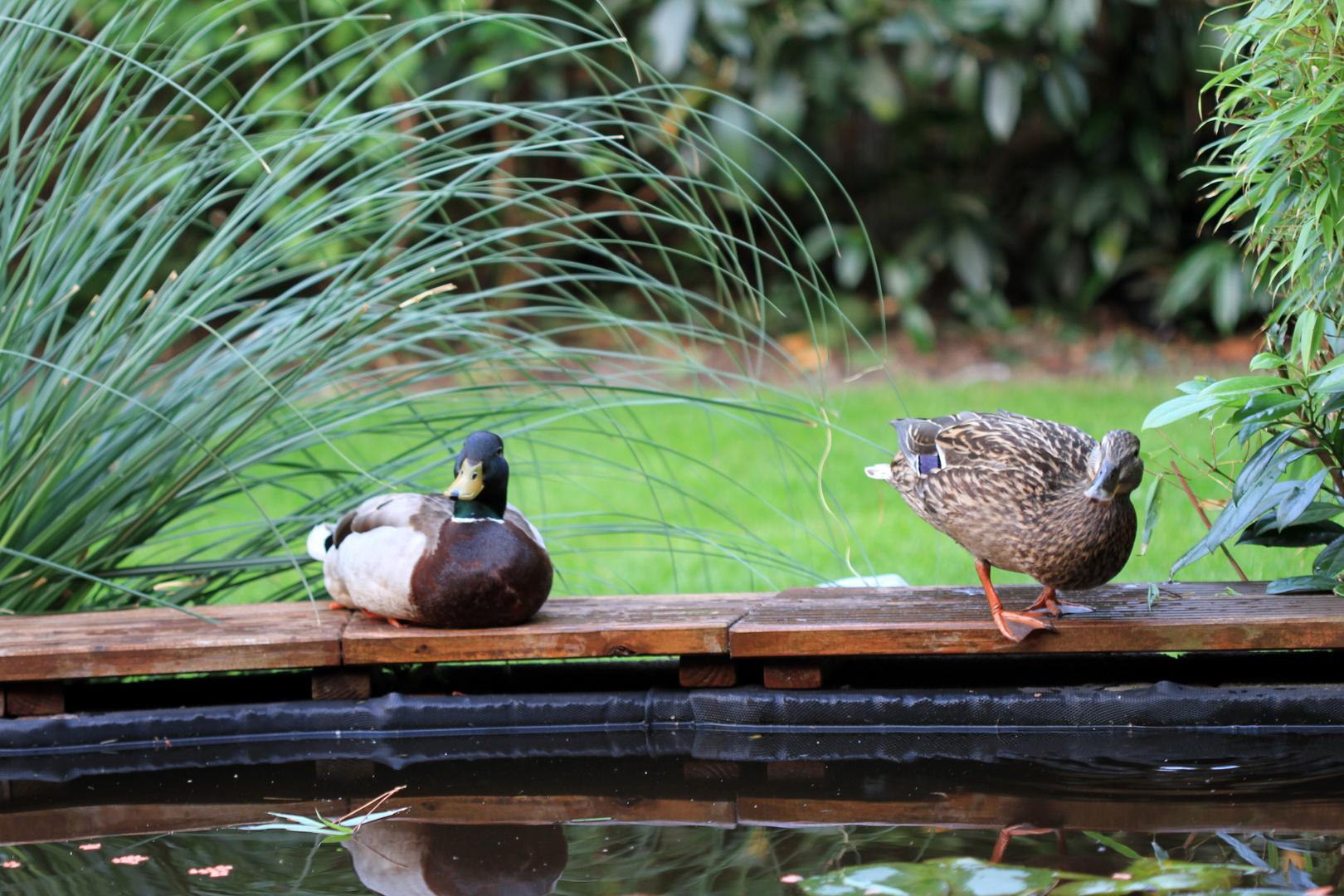 Hier beide bei mir am Teich