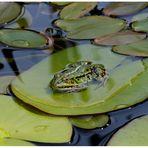 ...hier bin ich Frosch - hier darf ich sein...