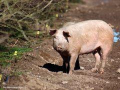 Hier bin ich Schwein , hier darf ich es sein .