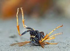 Hier ein scheinbar totes Insekt auf dem Sand-Lehmboden in der Nähe des Kampfes.