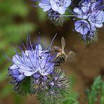 Hier ist der Ort für Bienen