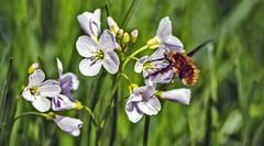 Hier nascht ein Wollschweber den Nektar von den Blüten des Wiesenschaumkrauts!