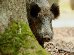 Hier noch ein neugieriges Schwein.