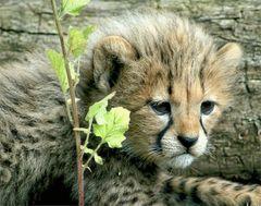 Hier noch einen von den fünf süßen kleinen Geparden