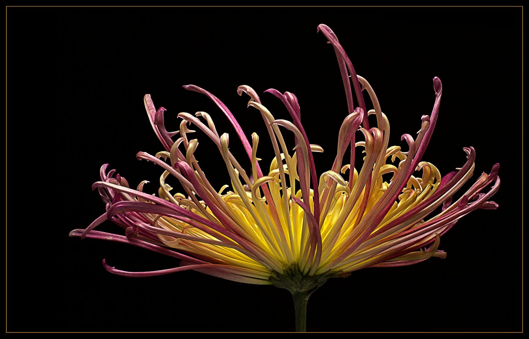 Hier sehen wir eine spinnenblütige Chrysantheme