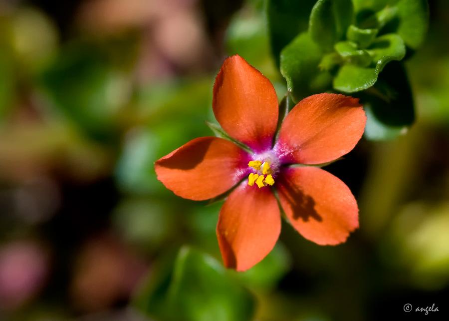 Hierba de coral (anagallis arvensis)