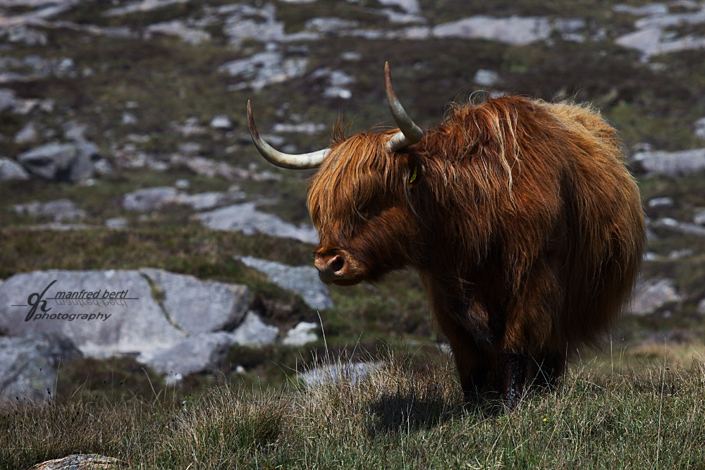...Highland cattle...