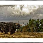 Highland cow at Muiravonside