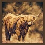 Highland Cow...