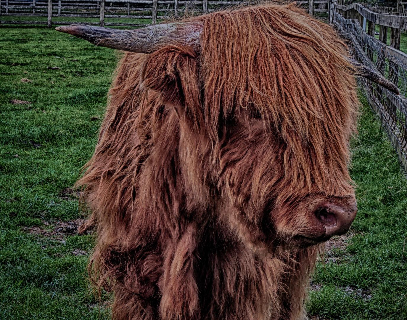 Highland Cow !!