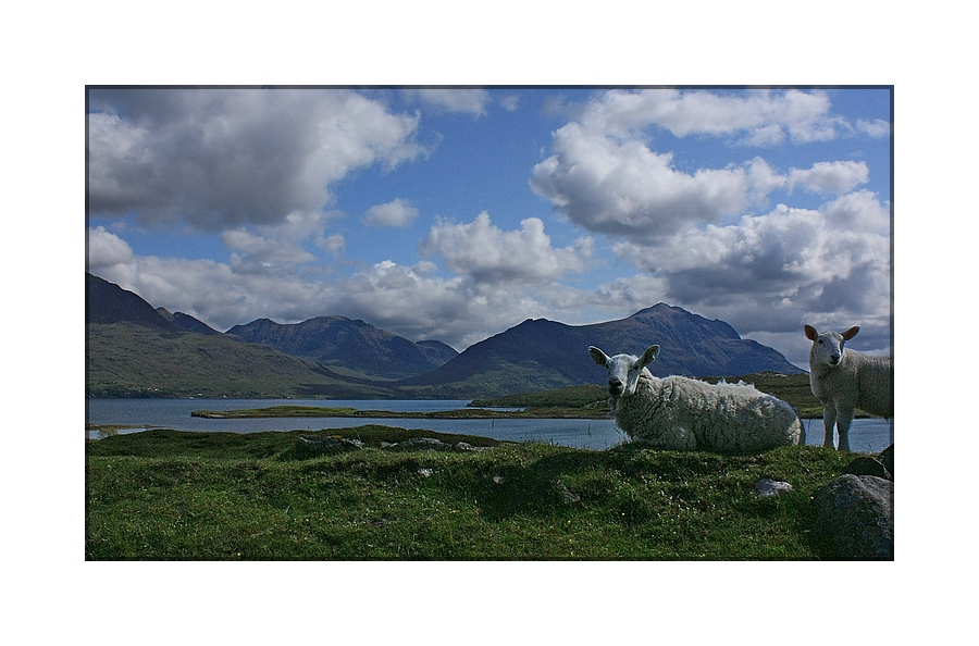Highland Sheep 02