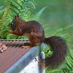 Hilf den Eichhörnchen über den Winter!