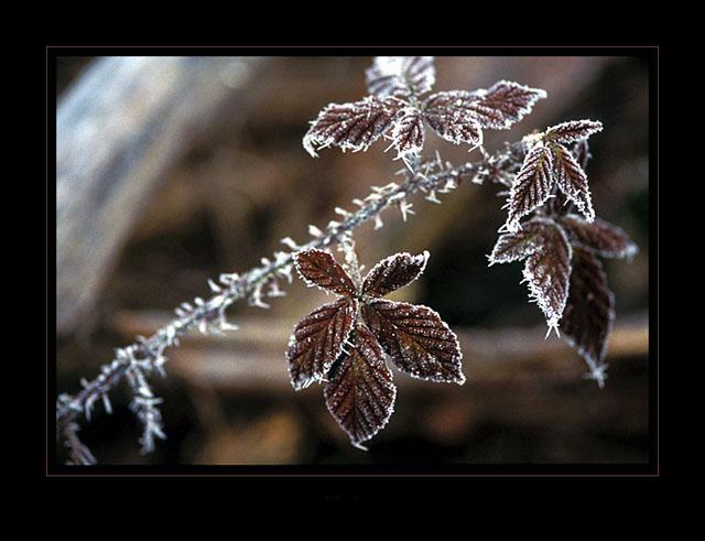 Himbeerblätter im Frost 2
