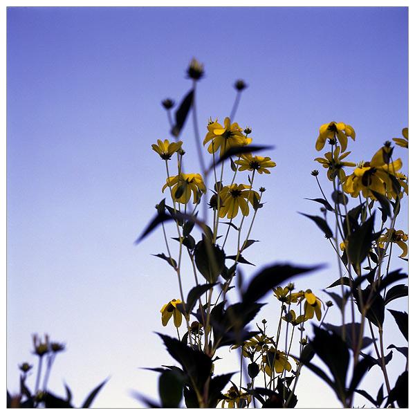 Himmel mit gelben Blüten davor