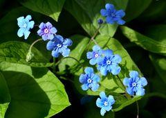 Himmelblaue Frühlingsboten
