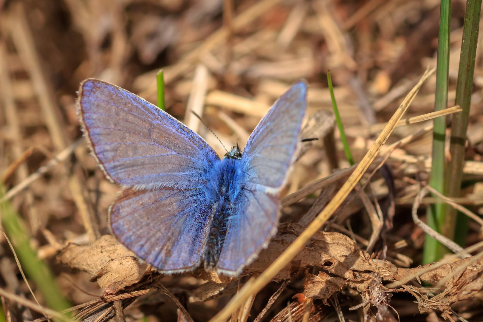Himmelblauer Bläuling 2