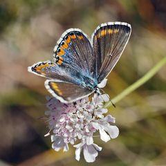 Himmelblauer Bläuling (Polyommatus bellargus), ein Weibchen. *