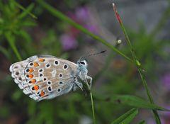 Himmelblauer Bläuling (Polyommatus bellargus) - L'Azuré bleu céleste...