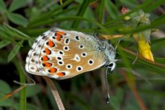 Himmelblauer Bläuling (Polyommatus bellargus), Weibchen. - L'Azuré bleu céleste, une femelle.