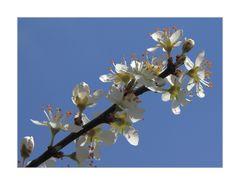 ...himmlisch, diese Kirschblüten...!