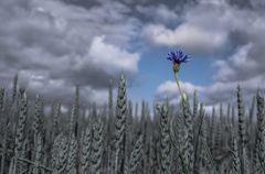Himmlisches Kornblümchen