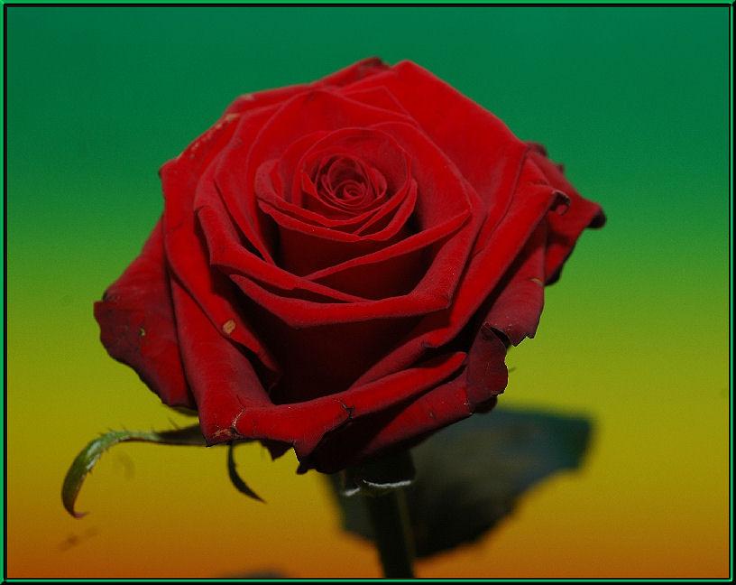 .....hin und wieder rote Rosen...