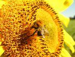 Hingabe und Hingebungsvolle ...oder: Sonne tanken... (6. der Serie Girasol)