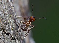 Hinten-vorne, oben-unten, alles gleichzeitig: Ameisen-Akrobatik... (4a) - Une fourmi acrobate!