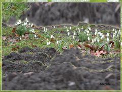 ... hinter den Bergen läuten sie den Frühling ein ...