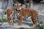 Hinterindische Tiger