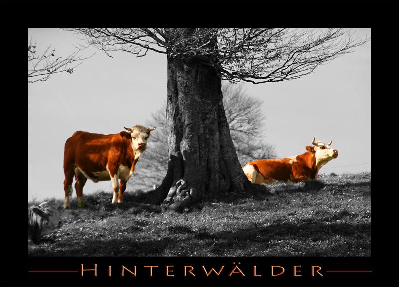 >> Hinterwälder Rind