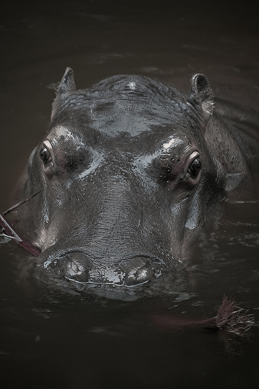 "Hipopótamo ""doméstico"""
