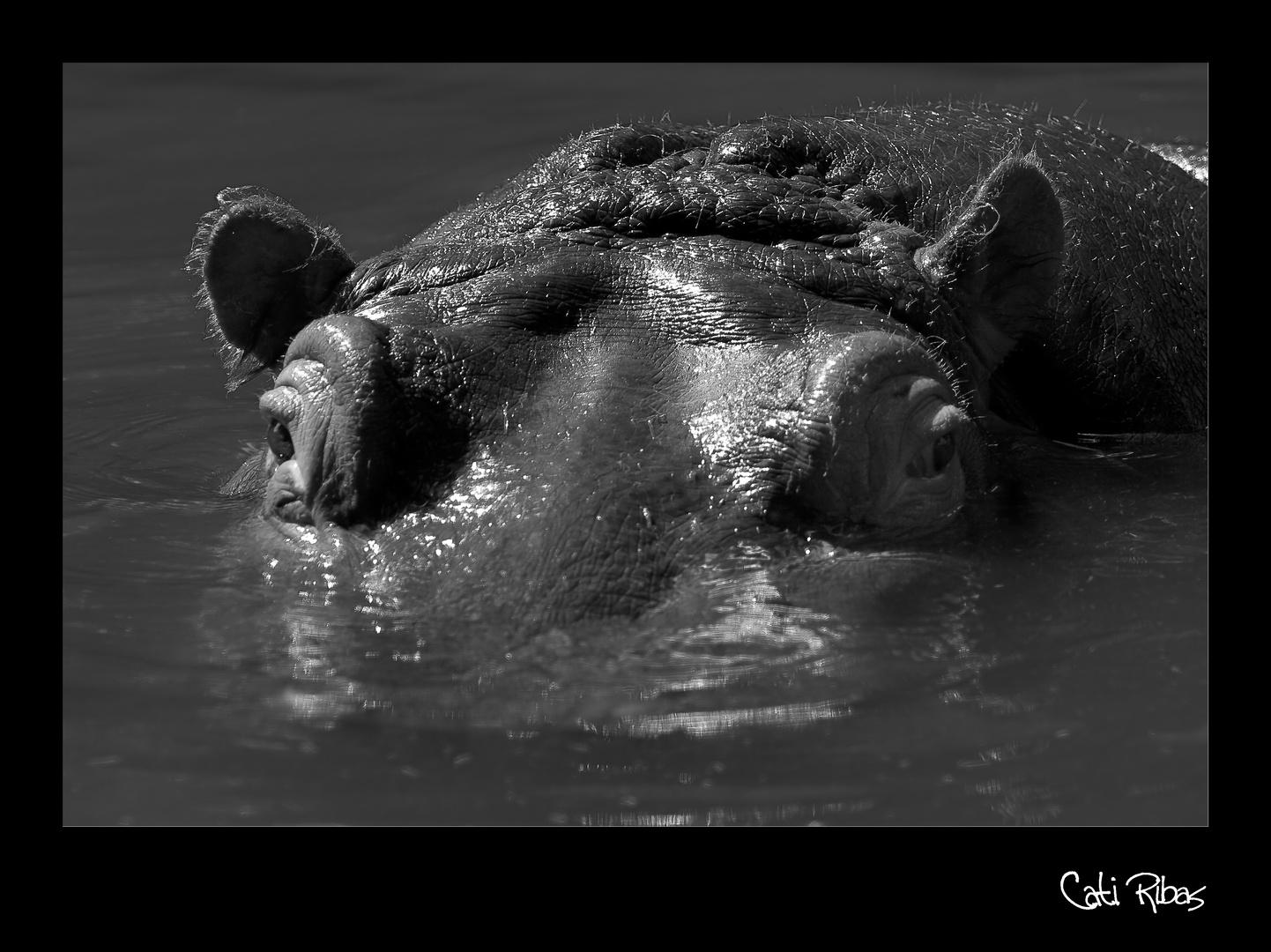 hipopotamo en el agua