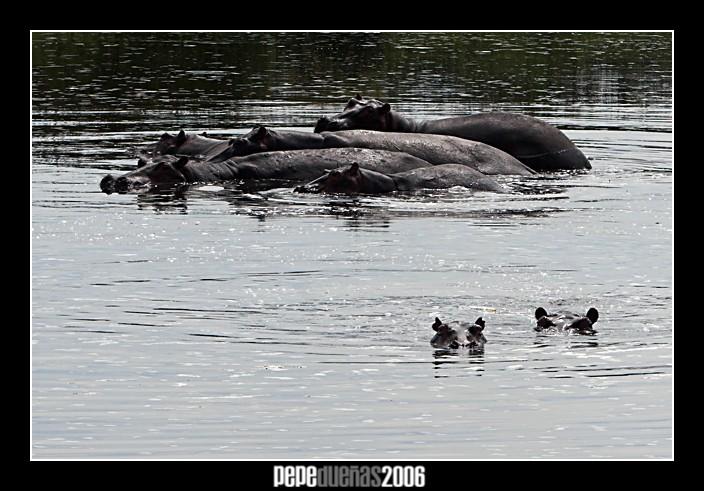 Hipopotamos en el Nilo