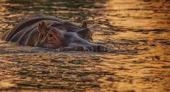 Hippo am Abend