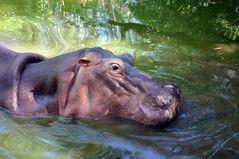 Hippo in Kenia