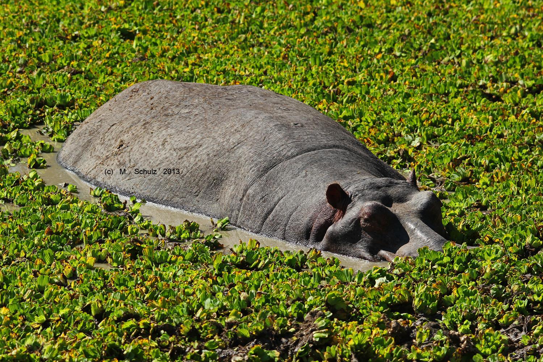 Hippo in Sambia