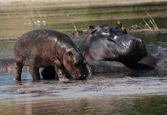 Hippo Nachwuchs