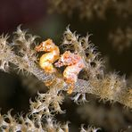 Hippocampus waleananus - Walea soft coral pigmy seahorse