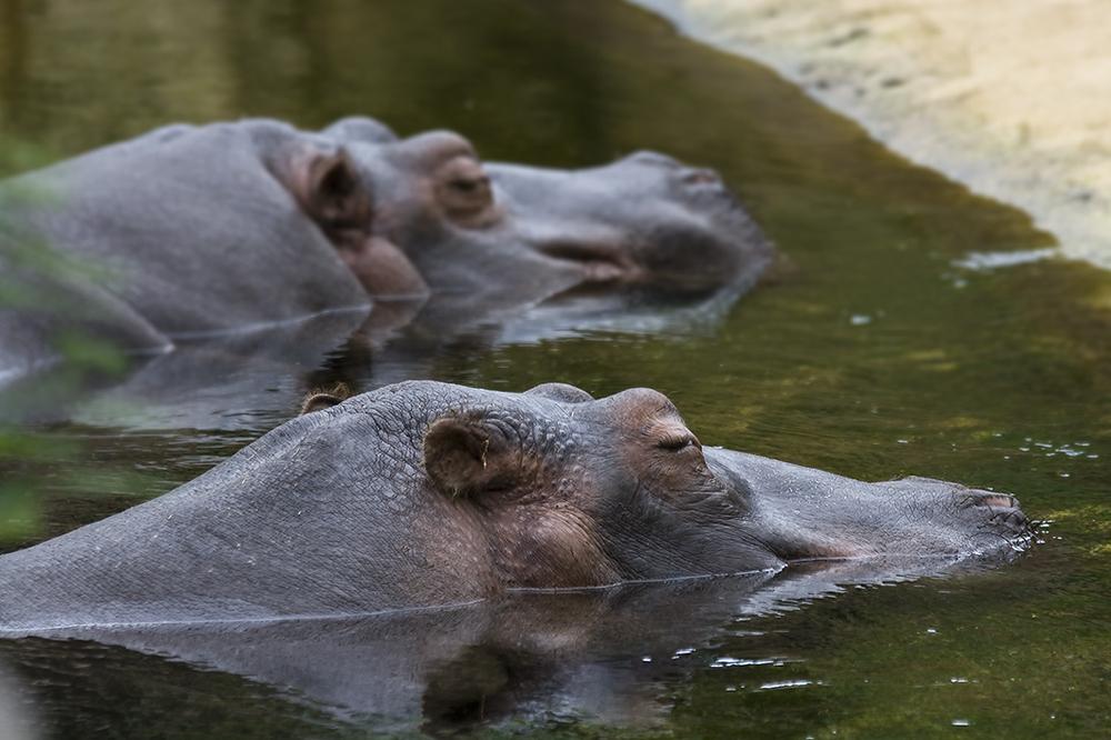 Hippodrom Kölner Zoo Nilpferde