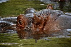 Hippopotamus- Flusspferdchen...!