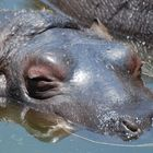 Hippopotamus youngster